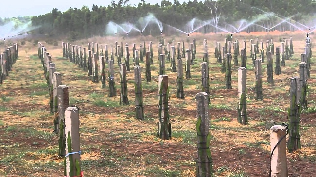 hệ thống phun sương cho cây thanh long